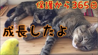 Download 88グラムで保護した子猫1年の軌跡 【成長まとめ】Growth record of a rescued kitten with only 88grams Video
