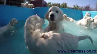 Download Golden Retriever pups swimming in the pool for the first time Video