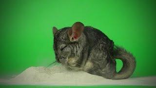 Download Funny Chinchilla 🐭Funny and Cute Chinchilla (Part 2) [Funny Pets] Video
