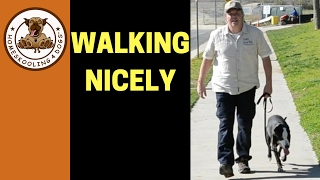 Download Teaching Shelter Dog to Walk on Leash without pulling Video