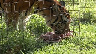 Download Hungry Angry Tigers Video