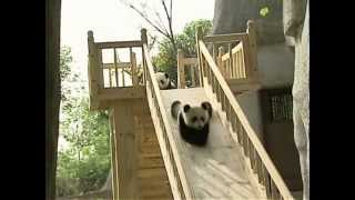 Download Cute pandas playing on the slide Video