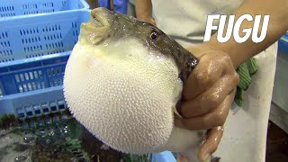 Download Fugu-fish: risky Japanese delicacy. English version Video