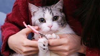 Download 【花花与三猫】猫咪撒娇不想剪指甲,下一秒就被戏精女主人辣手摧花剪个精光,猫咪一脸懵逼... Video