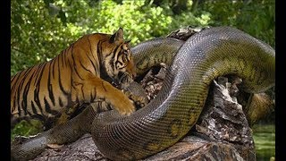 Download 호랑이 vs 아나콘다 엄청난 데스매치!! tiger vs anaconda fight to death Video