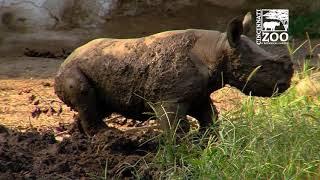 Download Black Rhino Calf Kendi 1st Time in Mud Wallow - Cincinnati Zoo Video
