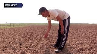 Download Басқарма басшысы өзбекстандық шаруалардың мақтауын асырды Video