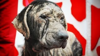 Download Amazing recovery of dog whose skin had turned to rock Video