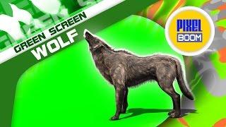 Download Green Screen Wolf Walking Howl Animal - Footage PixelBoom Video