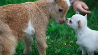 Download Chihuahua Puppy thinks she's a Baby Goat Video