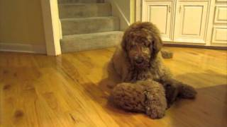 Download Cavapoo Puppy Playing with Goldendoodle Video
