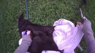 Download Bat rescued from fruit tree netting: this is Leonie Video