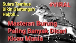 Download Master Sikatan londo ganas dan rapat terbaik untuk burung kicau mania Video