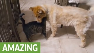 Download Cat's emotional reaction to reunion with blind dog Video