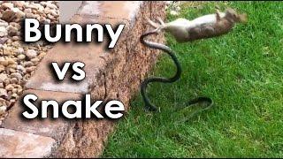 Download Ozzy Man & Mozza Commentate a Bunny vs Snake Video
