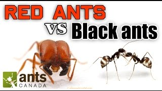 Download WHO WINS: RED ANTS VS BLACK ANTS Video