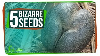 Download 5 of the World's Most Bizarre Seeds Video
