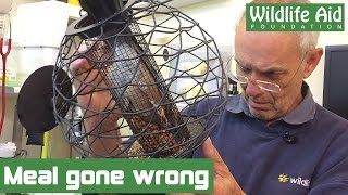 Download Hungry jay wedged in bird feeder Video