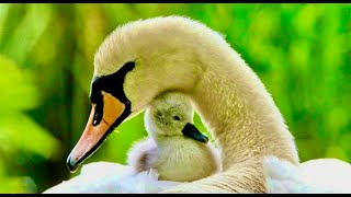 Download Mother Goose teaching her 6 New Born Goslings How To Swim n Swan couple Video