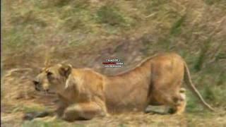 Download Big Cats Hunting! [HD] Video