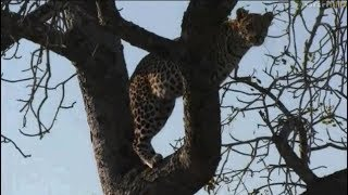 Download Pt 1 Safari Live's Sunrise Safari Drive at 6:30 AM on July 16, 2017 ( Leopard & Lions ) Video