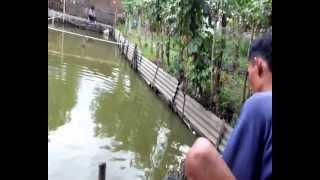 Download Mancing ikan mas (banyak rembesan) Video