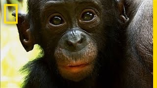 Download Things You Probably Didn't Know About Cute Bonobos | National Geographic Video