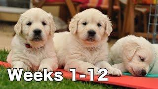 Download Golden Retriever Puppy Dogs Growing Weeks 1-12 Video