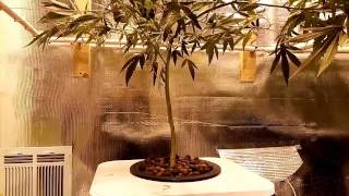 Download Ep3 Dwc Lollipop and Defoliate SCROG Nets Video