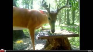 Download Deertrail. Nice buck. Video