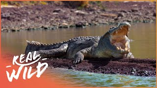 Download The Predator's Bay [Crocodile Documentary] | Wild Things Video