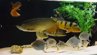 Download Buscando os Tucunarés monstros no Aquário do Jales ( Goiânia ) Video