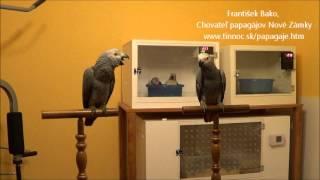 Download Môj odchov Papagájov sivých Žakov Video