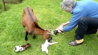 Download 3 jonge geitjes in Stevensbeek D.m4v Video