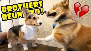 Download Corgi Dog Reunited w/ His Brother Surprise || Life After College: Ep. 605 Video