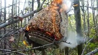 Download destruction d'un nid de frelons asiatiques Video