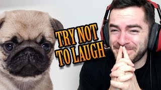 Download TRY NOT TO LAUGH - Pug Edition Video