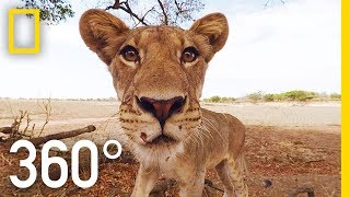 Download Lions 360° | National Geographic Video