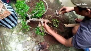 Download PECAH BATANG BONSAI Trik Sederhana Memperbesar Pangkal Batang Bonsai Serut Sedang. Video