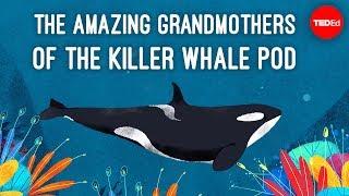 Download Inside the killer whale matriarchy - Darren Croft Video