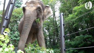 Download Oregon Zoo elephant Chendra has surprise pregnancy Video