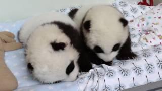 Download Panda Cubs 2016: Day 75 Video