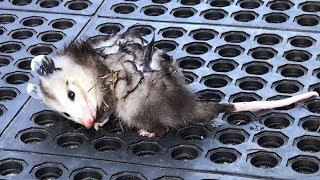 Download Shadow Captures a Young Opossum Video