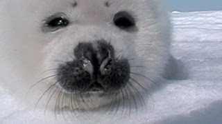 Download Baby Seal Gets Up Close And Personal! Video