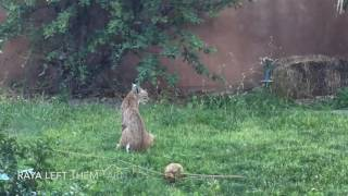 Download Wild Bobcat Family (three kittens and their mama): Our Backyard, Placitas, NM Video