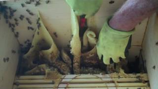 Download Honey Bees, Beekeeper's Bad Mistake Video