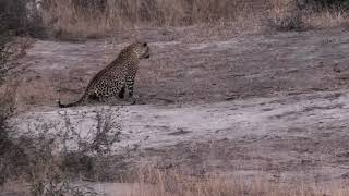 Download Djuma: Tingana heading back towards tree with Hosana and carcass - 17:22 - 07/21/18 Video