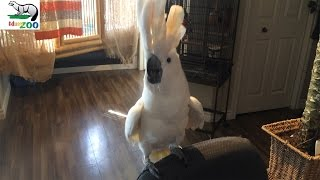 Download Cockatoo Dancing and singing to Barney (Talking Parrot) Video