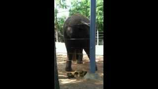 Download Elephant pooping at the Houston Zoo Video