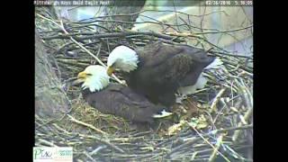 Download Mom pushed dad off eggs at Hays bald eagle nest Video